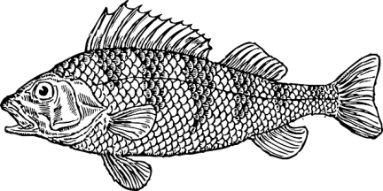 Cod, an example of a bony fish.
